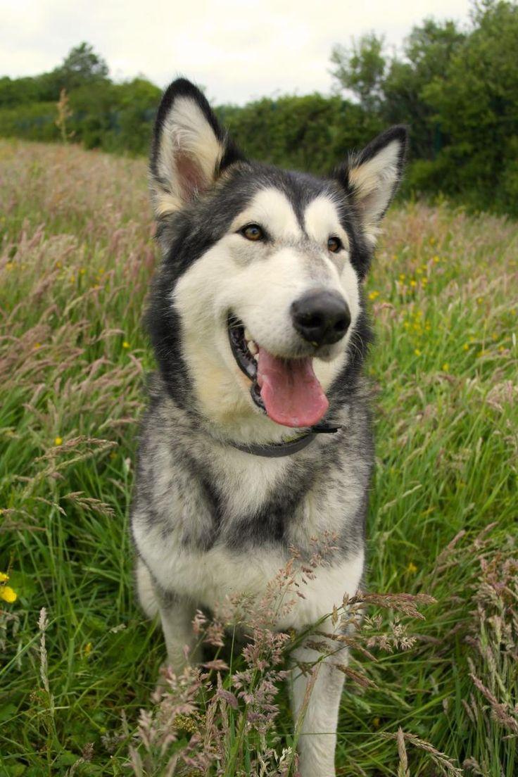 UK Adopt Alaskan Malamute JESS Dog adoption, Dogs trust