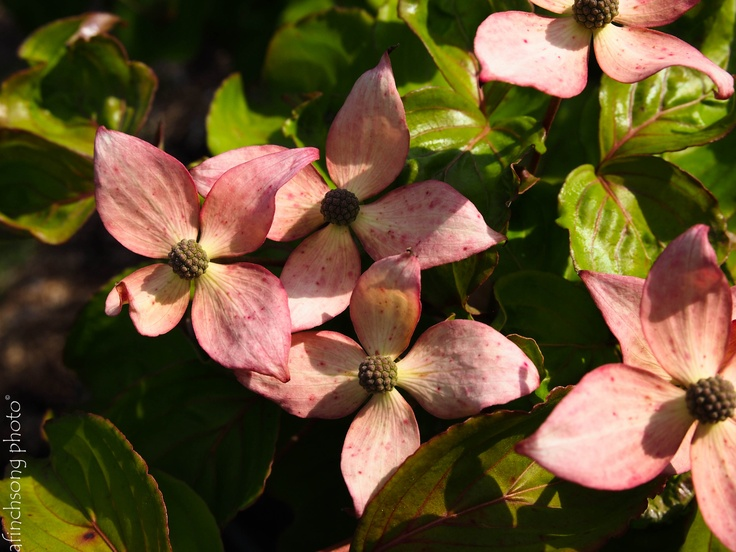 Cornus kousa 'Schmred' HEART THROB CHINESE DOGWOODdeciduous flowering treesun to part shadeMature size: 20'HWUpright broadSPRING: Rose pink star bractsFlowers after leaves emergeFOLIAGE: Blue greenFALL: Edible red fruit attract birdsFALL COLOR:  RedExfoliating gray barkRich moist well drained soil