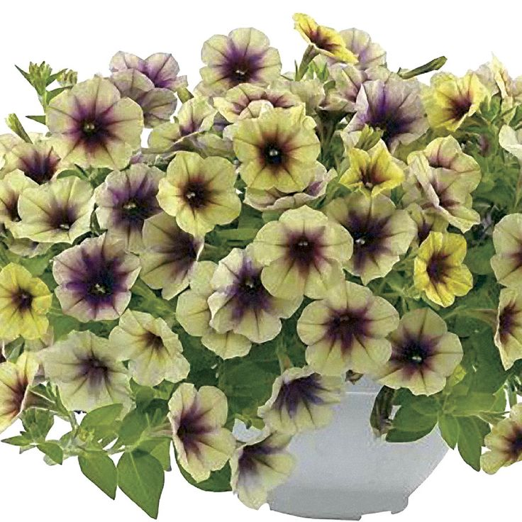 Cascadias Autumn Mystery Petunia Plants (pack of 6)