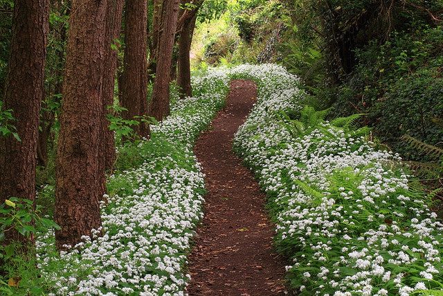 Footpath and wild garlic (Allium ursinum). St Blazey, Cornwall, UK.