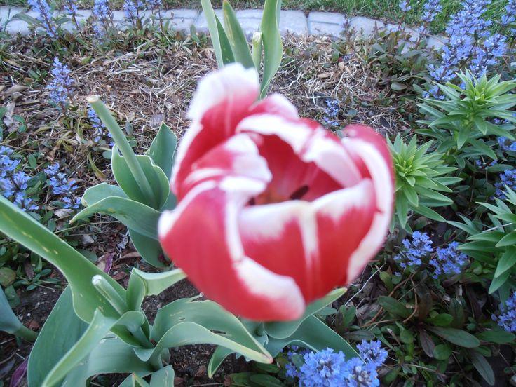 Tulip (bulb) - flower in spring