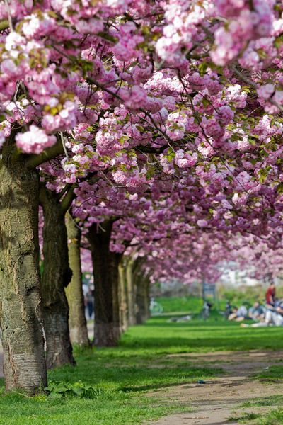 The Japanese Cherry Blossom
