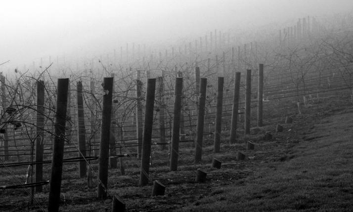 Mist in the Vines Early Winter 2011
