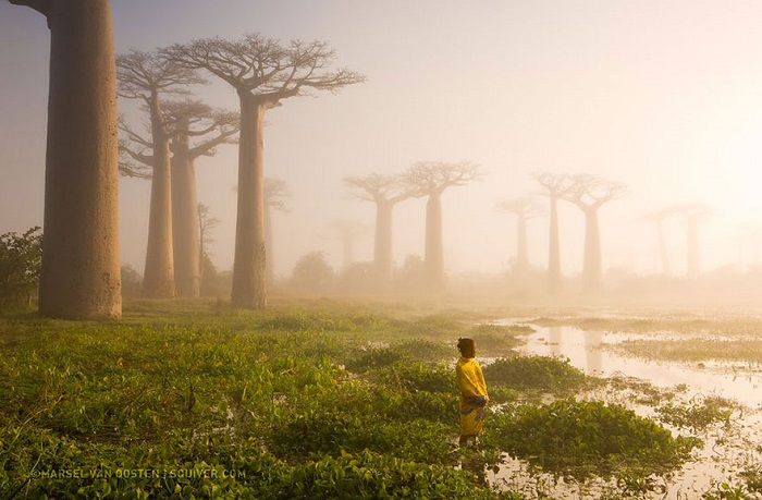 Los árboles baobab en Madagascar tienen 800 años de edad. Ellos son el hogar de serpientes, murciélagos, bebés arbustos, abejas y, a veces, seres humanos. Los árboles son una fuente importante de agua, ya que pueden almacenar hasta 4.000 litros de agua en su tronco. Esta foto fue tomada por Marsel van Oosten