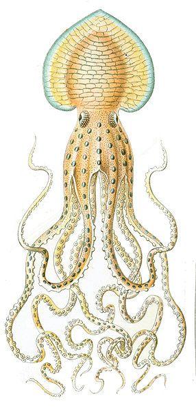 Pinnoctopus cordiformis by Ernst Haeckel, 1904. Detail of Gamochonia (plate 54) from Kunstformen der Natur