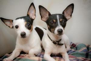 Dottie: Rat Terrier; Toronto, ON