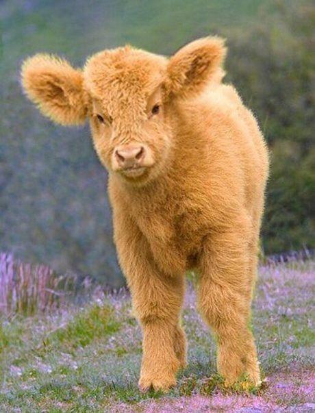 Blonde highland calf