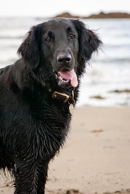 Flat-Coated Retriever, can retain its puppy-like outlook until old age. #DogBreeds