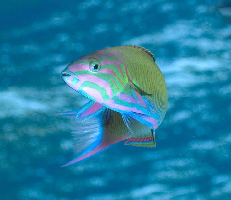 89 best images about fish and ocean things on pinterest for Rainbow fish species