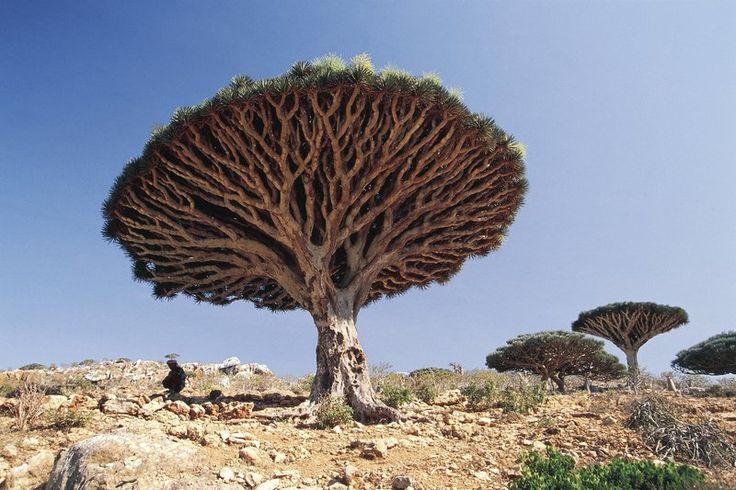 イエメンの竜血樹
