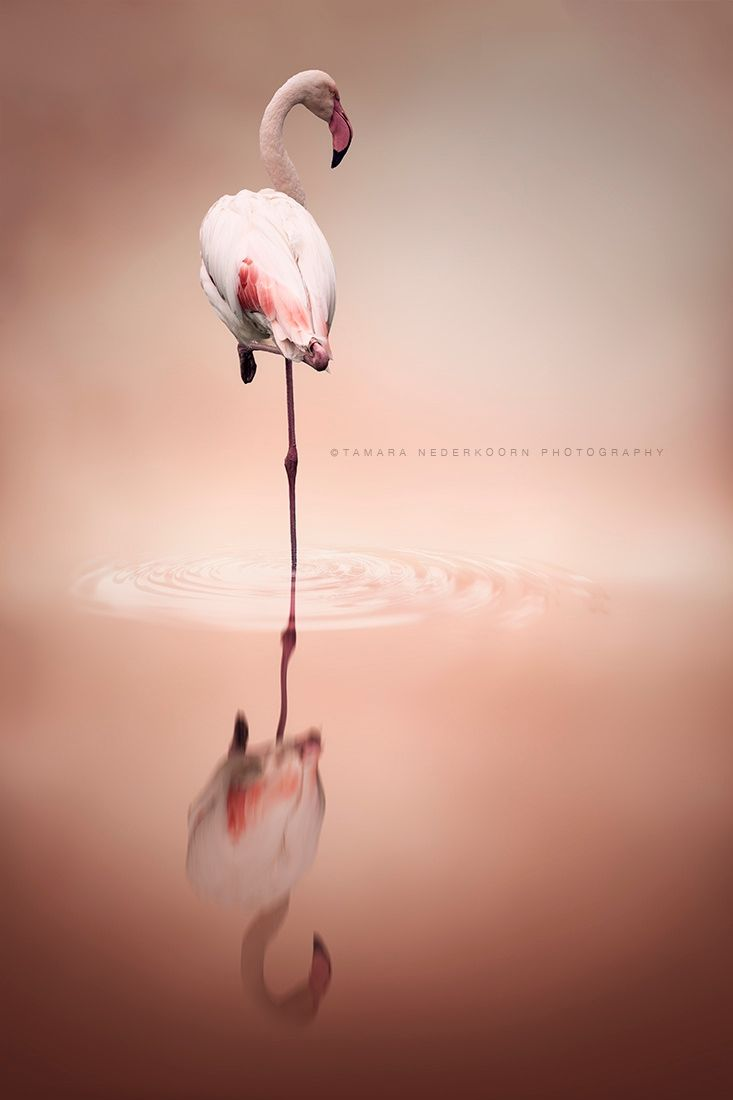 Uno Flamenco está de pie sobre un pie. Es color de rosa.   - Lillý og Sóli Hólm (Ísold)