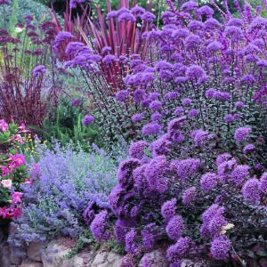Texture, color, draught-resistant: Trachelium caeruleum, Mexican bush sage, catmint, yarrow, red flax.