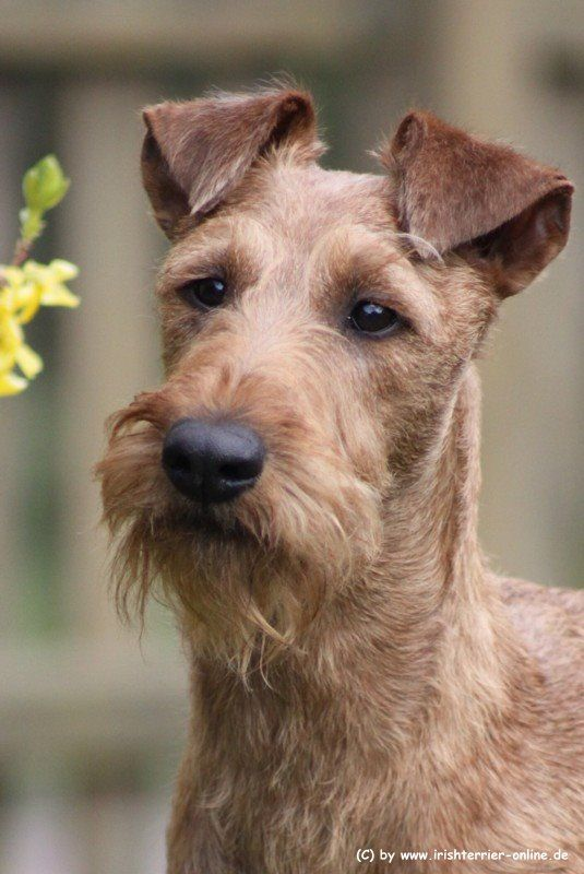 Terrier irlandais / Irish Terrier Startseite