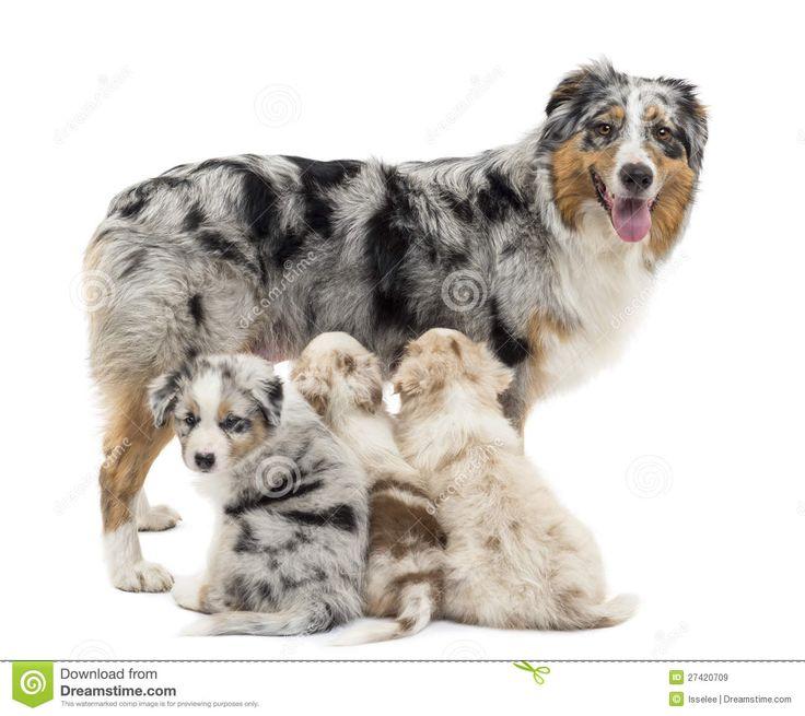 afbeeldingen australische herdershond - Google zoeken