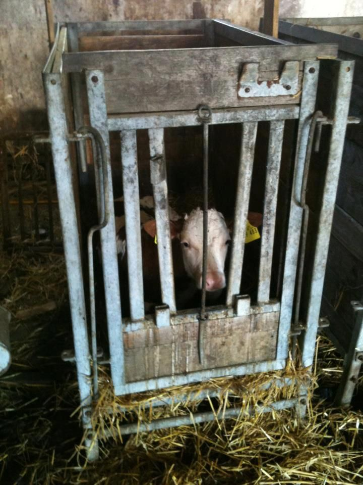 "This is a calf of the dairy industry. This is a veal crate. This little guy is put in here 24-48 hours after birth and will never see his mother again. He'll live in here for a few weeks until he's grown a bit, and then he'll be sent to the slaughterhouse. Calves are kept in these crates so they can't move around, so that their muscles stay ""tender"" for veal meat. They are fed a formula because humans drink the milk that was meant for them. Don't support the dairy industry. GO VEGAN."