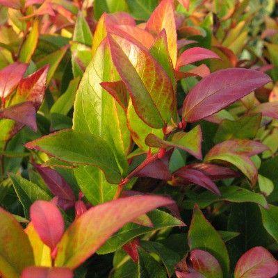 1000 id es sur le th me violet fonc sur pinterest arums fleurs violet fonc et plantes for Comarbuste a feuille rouge