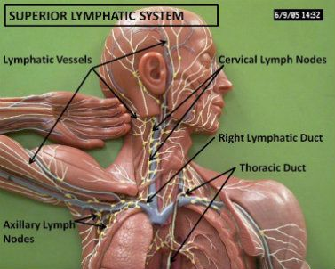 25 Best Ideas About Lymphatic System On Pinterest Dry