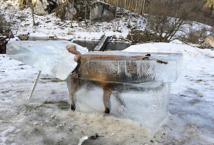 On the rocks: Als Warnung vor gefährlichen Eisflächen hat der Jäger Franz Stehle in Fridingen bei Tuttlingen einen tiefgefrorenen Fuchs ausgestellt. Das Tier sei ins Eis der Donau eingebrochen, ertrunken und dann eingefroren, sagte er am Freitag. Mehr Bilder des Tages auf: http://www.nachrichten.at/nachrichten/bilder_des_tages/ (Bild: dpa)