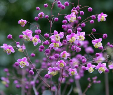 Thalictrum rochebrunianum. 6-7 ft. stalks of purple flowers in early summer. Good to place behind roses.