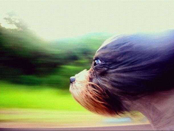 Friday Haiku: Can Dogs Fly?....lol Coco and Mia sticking their heads out the car window...!