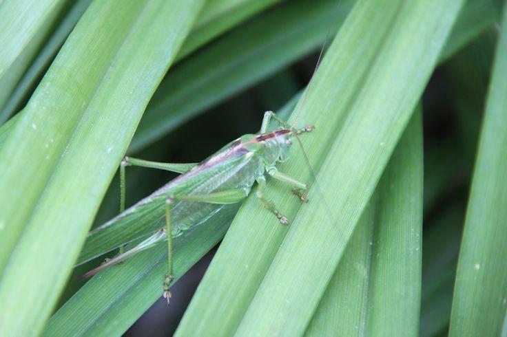 kobylka zelená na záhradke fotená:-)