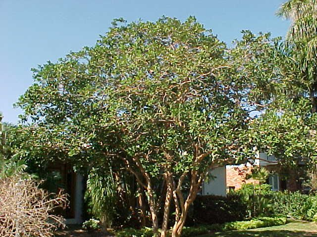 guava tree images - Google Search