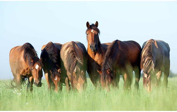 Årsagen til hovvægsforrådnelse skyldes indtrængende mikroorganismer gennem hornvæg eller den hvide linie. Sygdommen kaldes også for white line disease og optæder som regel, når heste går på fugtige områder. Sygdommen ses hos alle racer og forekommer endog i hestestalde, hvor der er god hygiejne.Den hvide linie er et upigmenteret område mellem hovvæggen og hovbenet. Man …