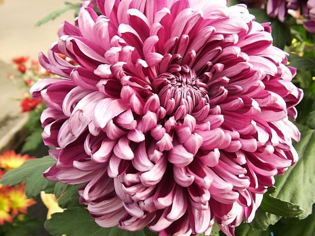 The Garden Helper recommends growing Chrysanthemums, partly because these are some of the easiest perennials to grow. They can be planted at almost any time of the year, but preferably after freezing temperatures and before scorching temperatures.