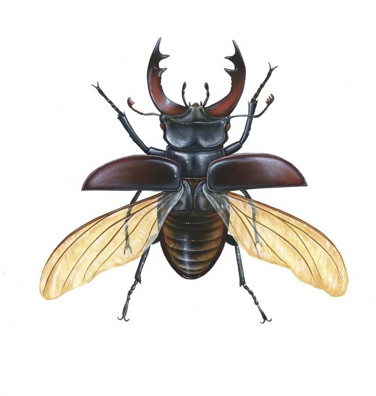 Крылья жука картинки
