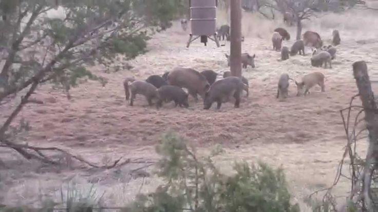 Texas Hog Hunt | Ridgeback Creek Hog Hunts