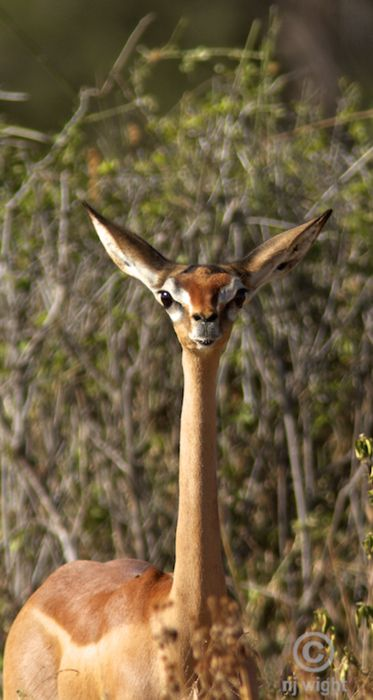 GERENUKLitocranius walleri©njwight - click through to nj's blog on Tumblr  The diurnal gerenuk requires very little water, and may not drink at all   during its life. The gerenuk is exclusively a browser. To reach   leaves on taller trees, the gerenuk stands on its hind legs, resting its   forelegs on the branches of the tree to steady itself. From this position,   it plucks the tender leaves from the branches with its long upper lip and   tongue. When a gerenuk sees a strange object, i: Awesome Animal, Upper Lips, Hind Legs, Tenders Leaves, Diurnal Gerenuk, Gerenuk Antelop, Taller Trees, Gerenuk Requir, Cutest Animal