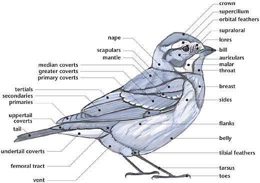 [Link] External Anatomy of a Bird (multiple diagrams for song birds, shorebirds, ducks and gulls)