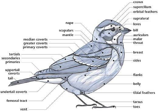 link external anatomy of a bird multiple diagrams for. Black Bedroom Furniture Sets. Home Design Ideas