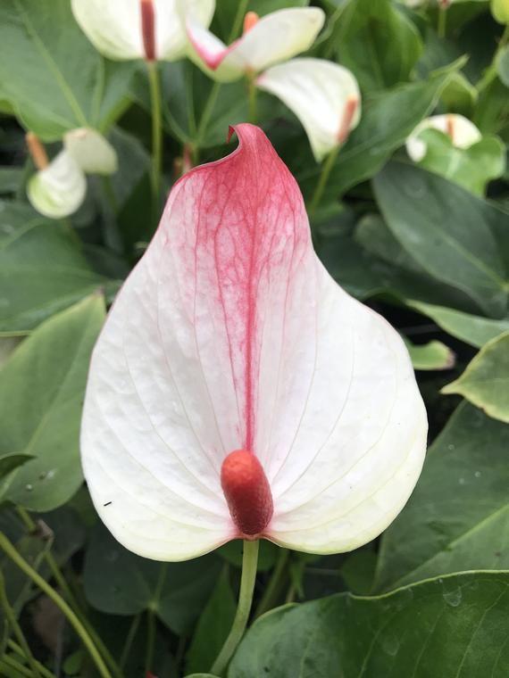 Anthurium Anthurium Plants Big Blooms