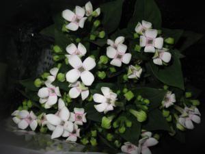12 Fab Filler Flowers for Wedding Arrangements: Bouvardia