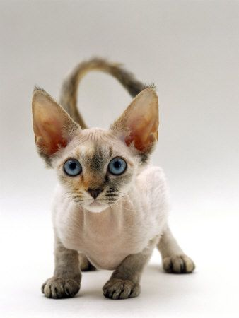 "Devon Rex - The Devon Rex is noted for its soft, short naturally curly coat.  Its large eyes and ears give it a ""pixieish"" appearance.  The Devon Rex originated near a tin mine in Devon England and is distinct from the Cornish Rex although the coat mutation appears similar.  They are available in a variety of patterns and colors."