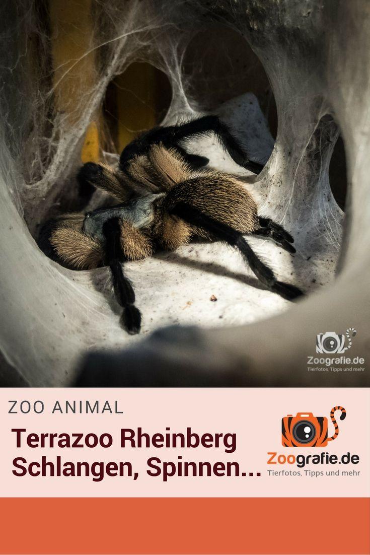 Viele Bilder, wenig Text - es ist halt ein Fotobericht ;-) Der Terrazoo in Rheinberg ist für uns inwzischen eine Art Heimatzoo geworden. Wenn wir spontan am Wochenende Tiere sehen wollen, dann überlegen wir immer kurz ob Duisburg oder Rheinberg unser Ziel ist. Bei eher schlechterem Wetter entscheiden wir uns meist für den Terrazoo, da die meisten Tiere in ihren Terrarien im Reptilienhaus zu sehen sind.