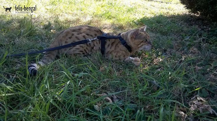 Pisica bengaleza - Felisbengal Karisto