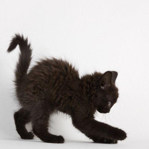 lil black cat