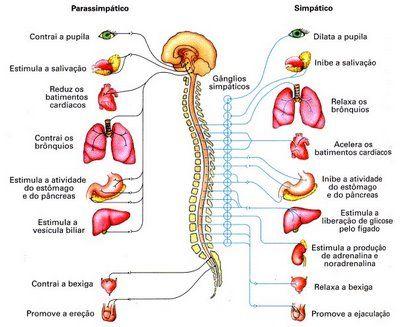 sistema nervoso periférico  - Só Biologia ::.
