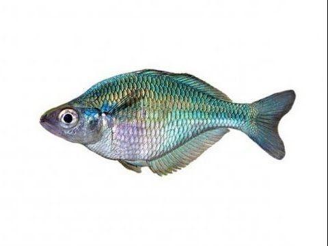 красивая аквариумная рыбка, Радужница Озерная или Голубая Melanotaenia l...