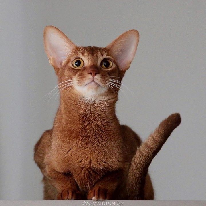 "2 Likes, 1 Comments - Abessinier Katzen Zucht (@abyssinian.at) on Instagram: ""Chili wants to remind you, that just 👆🏻one day left till #Christmas 🎄 . . . #AmberAmulett…"""