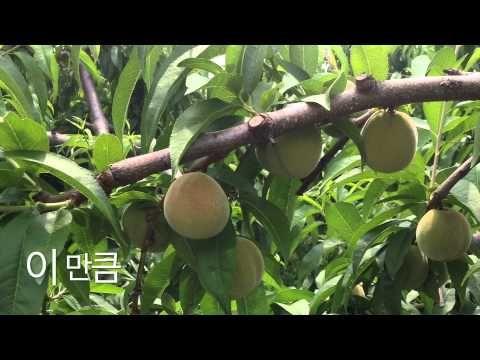 초짜농부의 복숭아밭 - YouTube