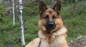 Av Köpeği Köpek Eğitimi