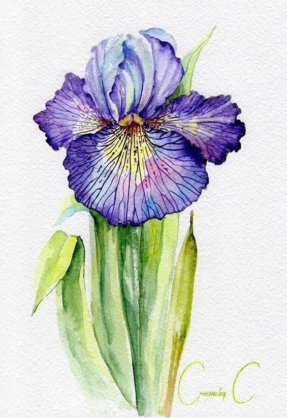 Iris Flowers Purple Blue Pink Green Yellow Watercolor Watercolor