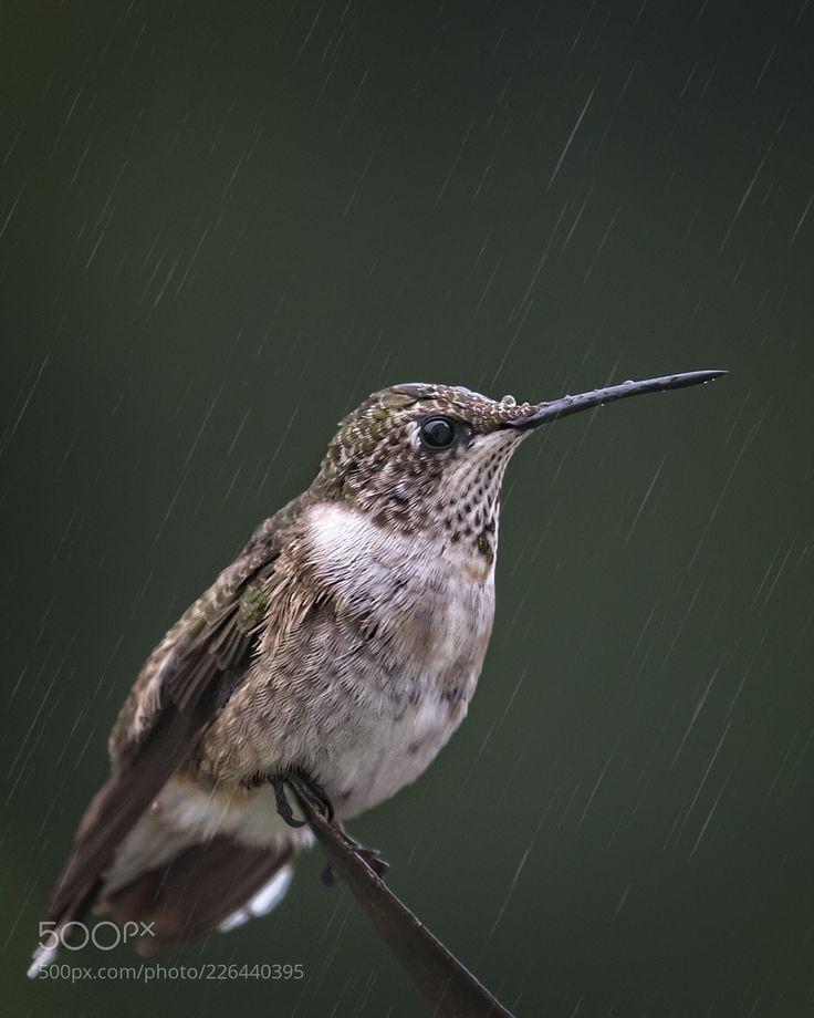 Hummer in the Rain (Perry Hoag / Nashville / USA) #Canon EOS 5D Mark III #animals #photo #nature