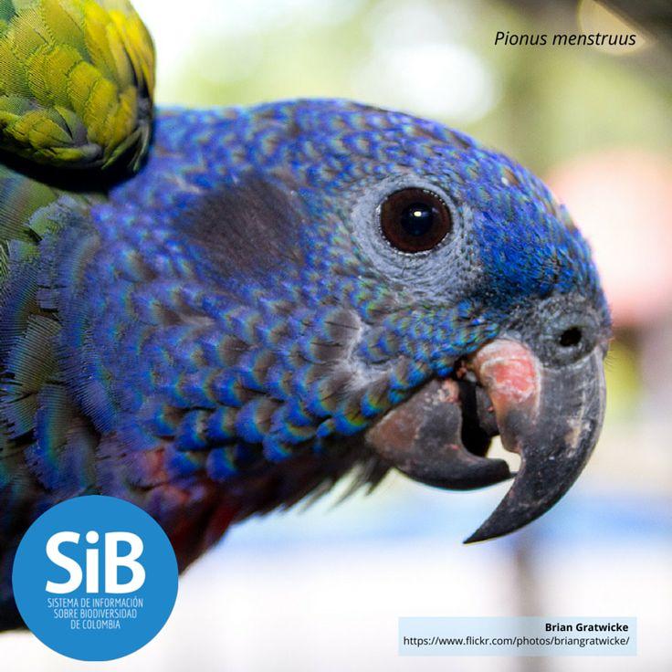 Conocida como Cotorra cabeciazul, 'Pionus menstruus', se distribuye en todas las regiones de selva húmeda oriente y occidente de los Andes. Conoce más de esta especie en nuestro catálogo http://www.biodiversidad.co/fichas/2538 #Biodiversidad