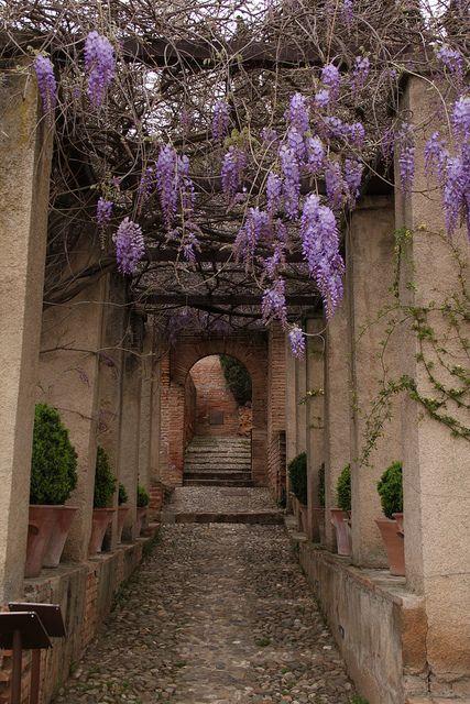 Wisteria, Generalife garden