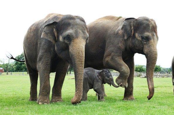 El nombre científico del elefante asiático es Elephas maximus,  este nombre se ha mantenido para los elefantes de sabana  y se ha creado una nueva especie llamada Loxodonta cyclotis para los elefantes de bosque, que son más pequeños y con los colmillos de marfil más rosados. Los elefantes asiáticos tienen la frente muy marcada por dos grandes jorobas. El africano tiene una frente más estilizada y ligeramente curvada hacia atrás con un solo montículo.