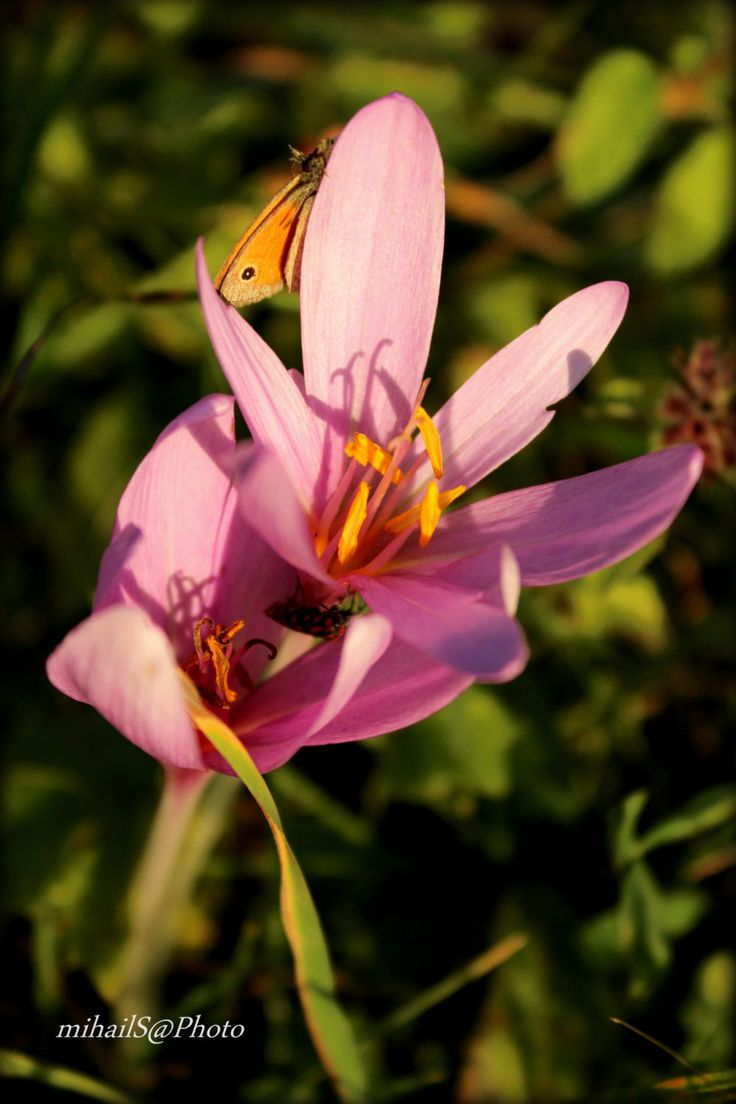 Autumn crocus and butterfly. by msitarus on Etsy